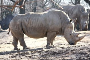 White_Rhino_by_Trisha